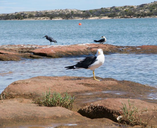 Large pacific gull looking intensely with pacific reef heron and pied cormorant in the background on the sandstone in the Murchison River in Kalbarri, Western Australia. Animal Wildlife Animals In The Wild Avian Beach Bird Coastal Cormorant  Geology Gull Heron Kalbarri Murchison River Outdoors Pacific Pied Cormorant Reef Remote River Riverbank Sandstone Sea Three Water Western Autsralia Wildlife