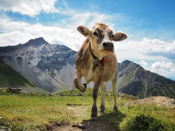 Cow standing against mountain