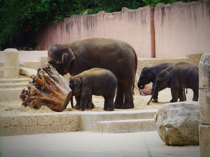 Elephant family in hanover zoo