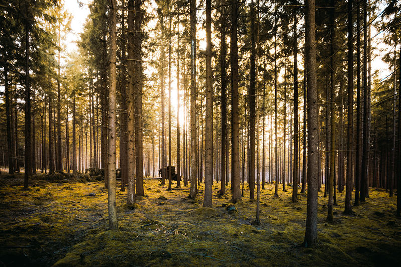 Scenic View Of Pine Trees In Forest During Sunny Day