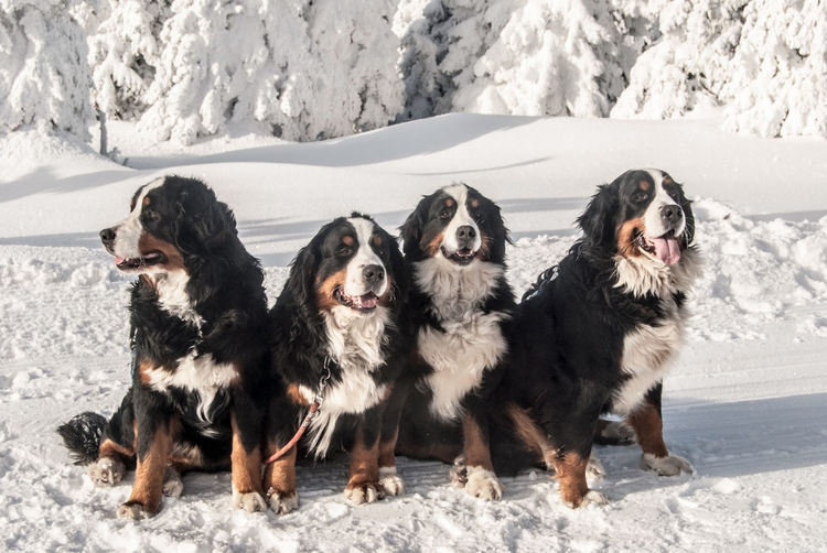 4 bernese mountain dog on snow in winter mountains with frozen trees on the backhround Nature Winter Animals Bernese Mountain Dog Canine Dog Forest Landscape Mammals Pets Snow