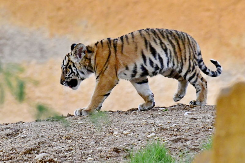 Tiger Cub Walking On Land