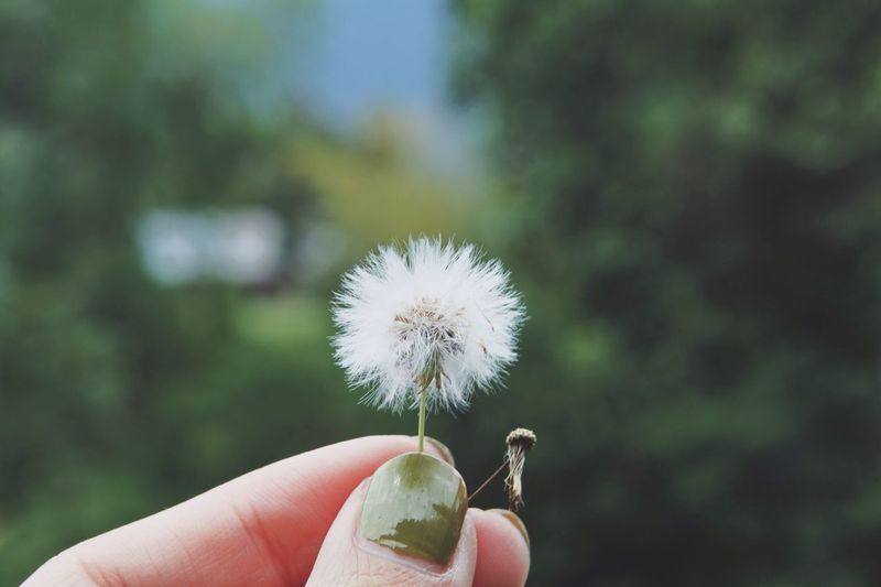 Cropped image of person holding dandelion flower