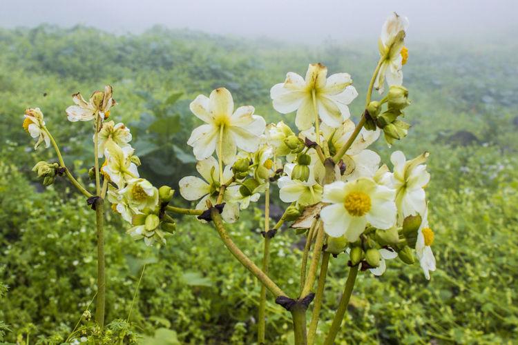 Lomas Flower
