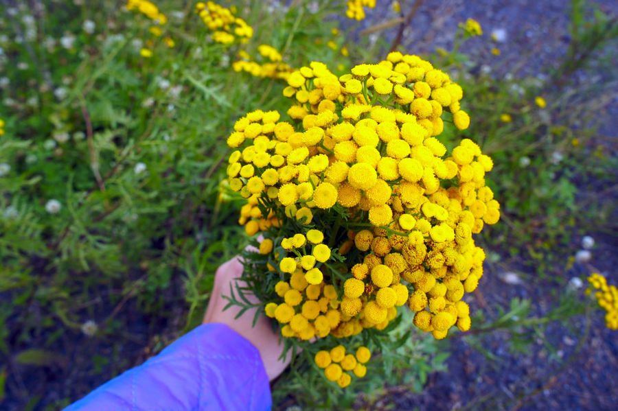 Hand holding a bouquet of flowers tansy drug on a green background Blooming Blossom Botanical Botany Flower Flower Head Focus On Foreground Freshness Growth Hand Healthcare Herb In Bloom Medicine Nature Petal Plant Pollen Showcase July Stem Tansy Wildflowers Yellow Beautifully Organized Enjoy The New Normal