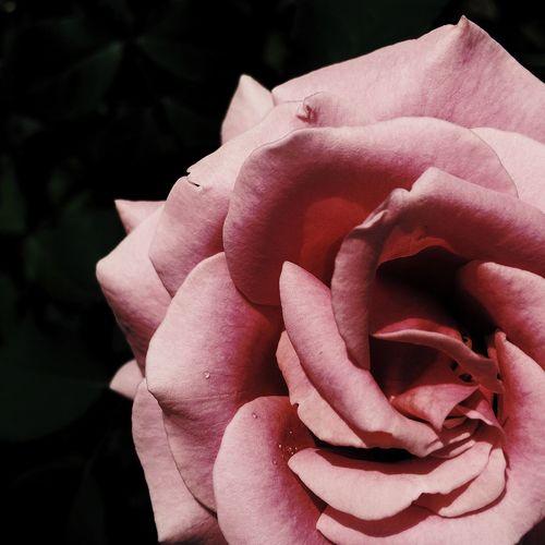 Macro shot of pink rose