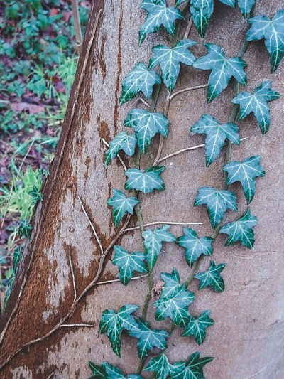 Winter ivy Beauty In Nature Close-up Day Fragility Green Color Growth Ivy Leaf Nature No People Outdoors Patterns & Textures Patterns In Nature Plant Winter