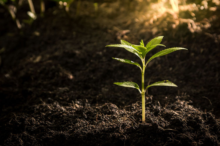 Seedlings are growing from fertile soil. And the morning sun shining on the concept of agriculture. Idea Agriculture Beauty In Nature Beginnings Close-up Concept Day Environmental Conservation Green Color Growth Leaf Nature Outdoors Plant Plant Part Seedling Small Vulnerability