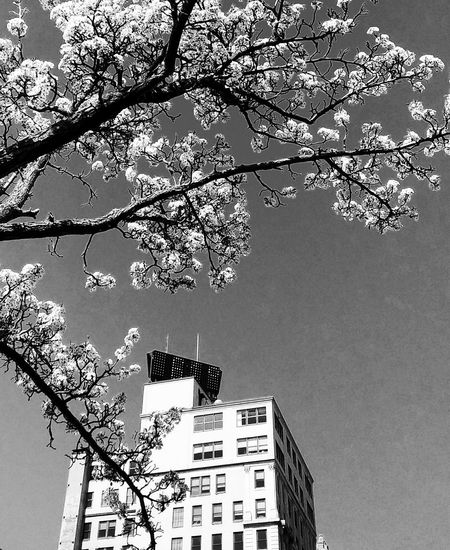 timeless...~ Black And White Nature_perfection Midday No People Nature Lover Tranquility Happy Moment Beauty In Nature Beautiful Flower In Portland Maine USA Springtime Loving The Landscape Color Of Life White Flower Spring Flowers Time And Temperature Building Tree Branch Communication Sky Building Exterior Architecture Tall - High Office Building Urban Skyline Cityscape