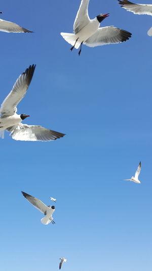 Flight Flying High Flying Bird Seagull SEAGULL IN FLIGHT Seagulls Soaring Soaring Birds Soaring Up Above SOAR HIGH Soaringhighinthesky Soar Bird Photography Birds Of EyeEm  Birds In Flight