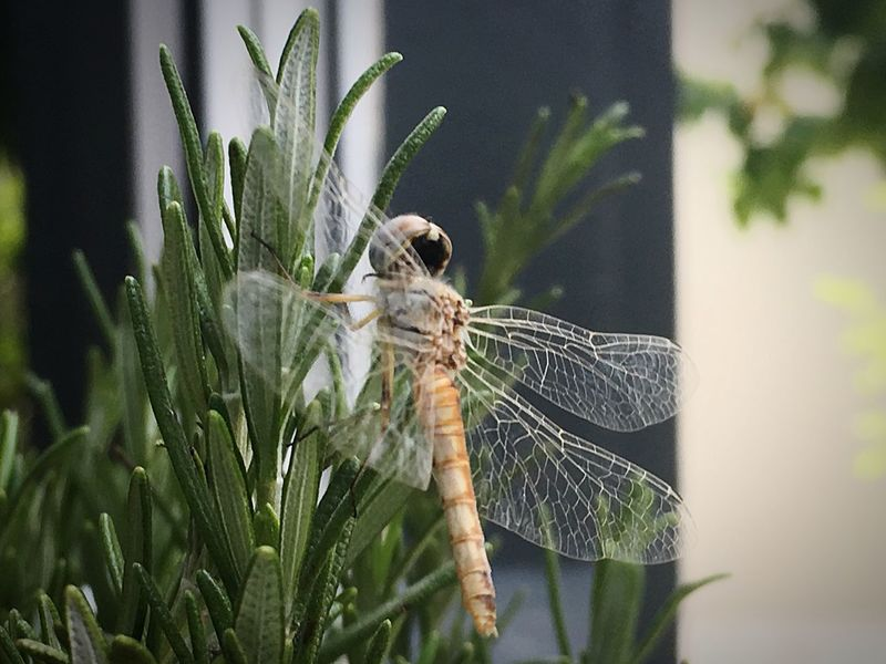 A humble dragonfly. Insect One Animal Close-up No People Leaf Rosemary Herb