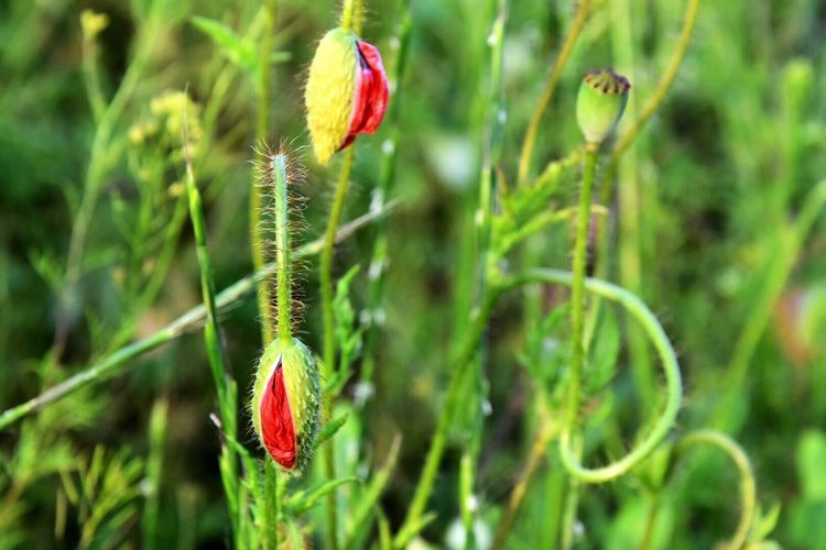 Poppy Buds Growth Green Color Plant Nature Day Outdoors Fragility No People Leaf Flower Focus On Foreground Beauty In Nature Red Close-up Freshness