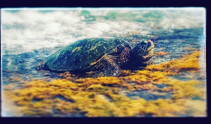 Honu: Hawaiian green sea tutrle Check This Out Taking Photos I ♥ Turtles  Travel Tropical Climate Perspective Waterfront Sea Nature Coastline Sea Life