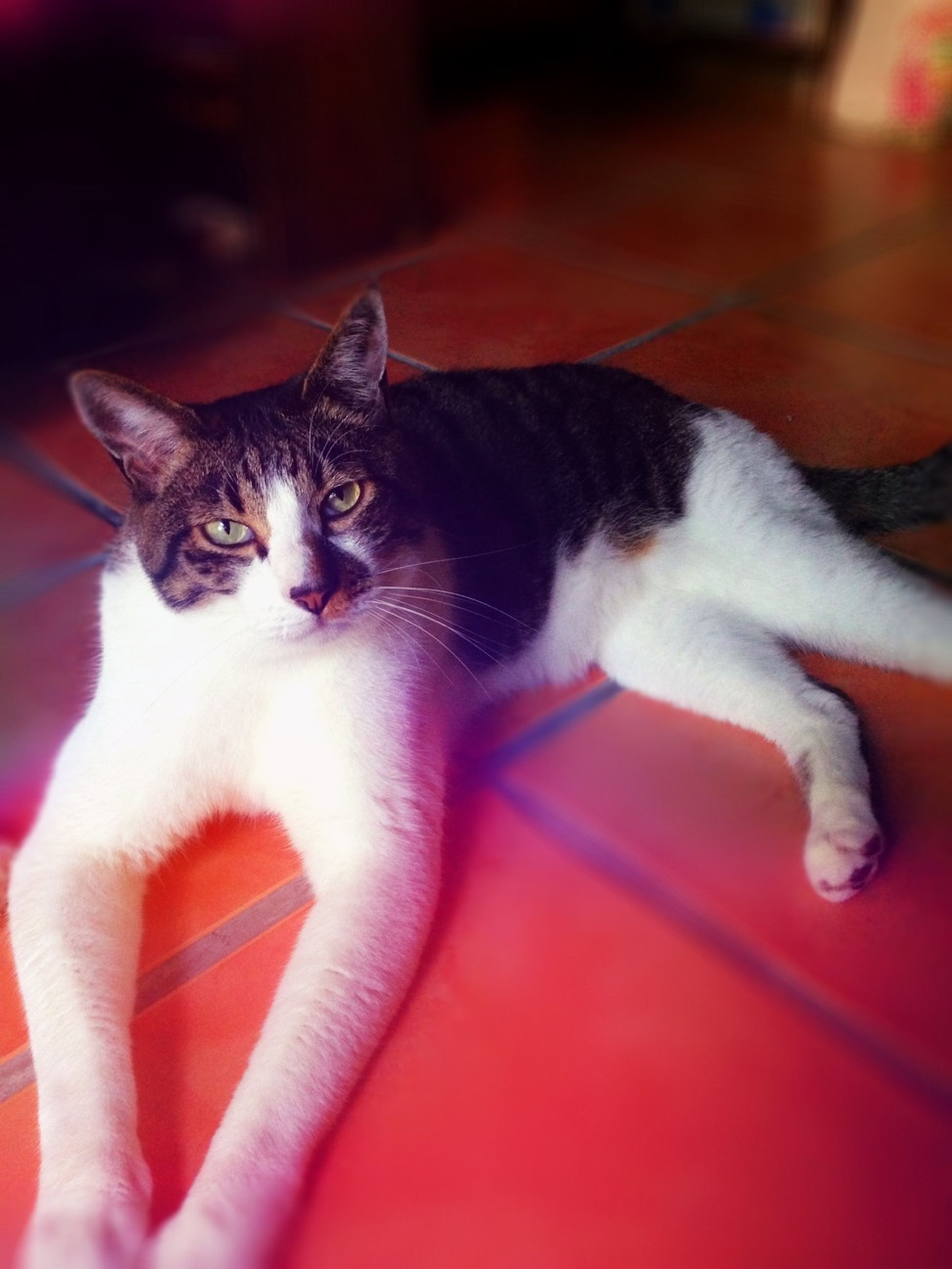 pets, domestic animals, domestic cat, animal themes, cat, mammal, one animal, indoors, feline, relaxation, whisker, lying down, home interior, looking at camera, portrait, resting, bed, sofa, two animals, close-up