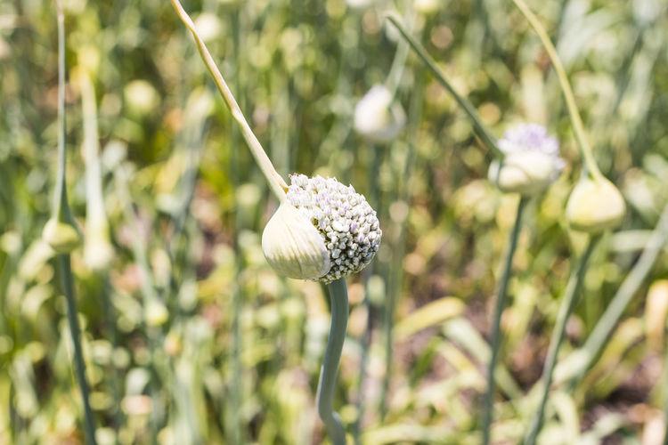 Close-up of allium buds