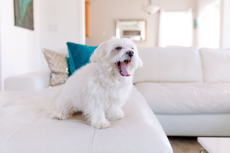 White dog sitting on sofa at home
