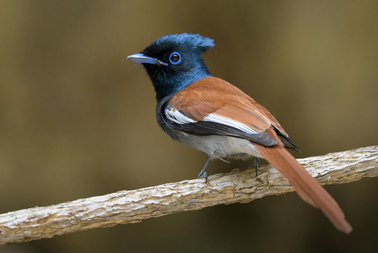 African Paradise Flycatcher Bird Perching Looking At Camera Animal Wildlife Portrait Nature Multi Colored Outdoors Close-up Feather