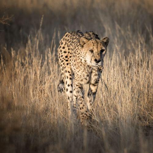 Close-up of cheetah walking on field