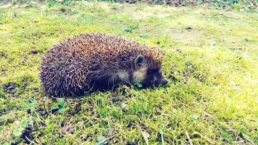 Hedgehog trip