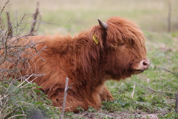 Side view of brown cattle