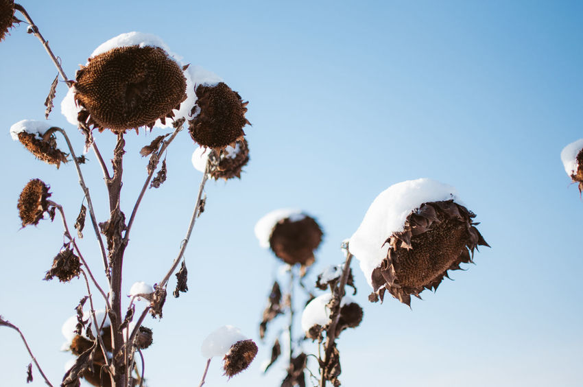 Frosted sunflowers on Berlin Tempelhof park, the former airport. Blue Sky Close-up Day Dry Flower  Flower Head Nature Outdoors People Plant Sky Snow SnW Sun Winter