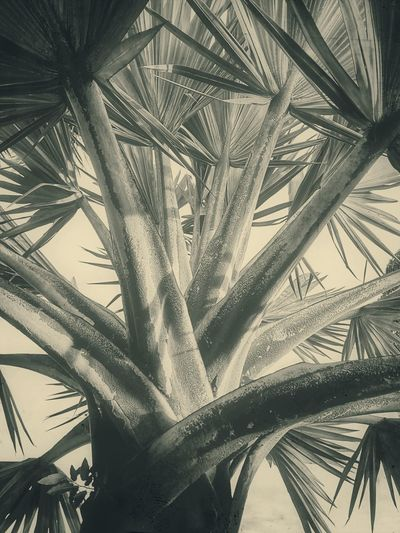 Plam Plam Leaf Plam Leaves Nature Photography Nature Collection Tree Photography Tree_collection  Plam Photography Leaves Plam Collection Plam Leaves Palm Tree Palm Leaf Tree Nature Leaf