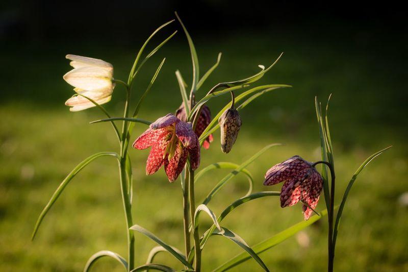 Schachbrettblumen Schachbrettblume Flora Pflanzen Pflanzenliebe Nature Outdoors Garden Photography