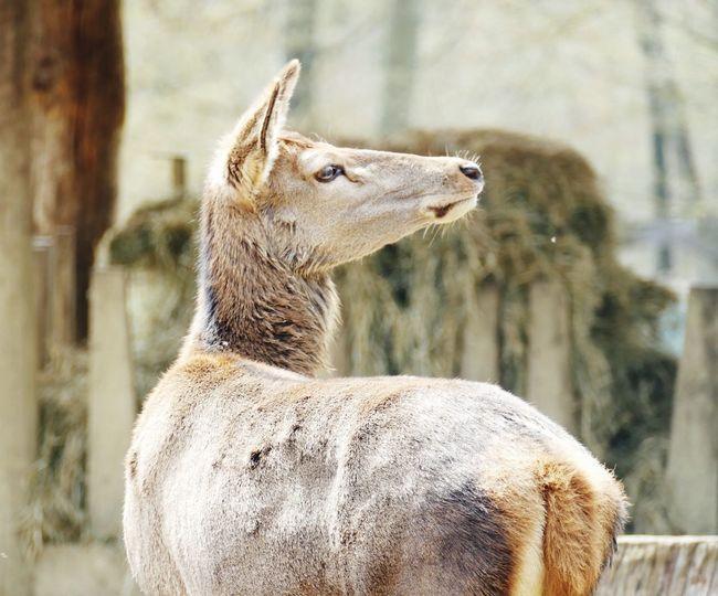 Close-up of llama looking away