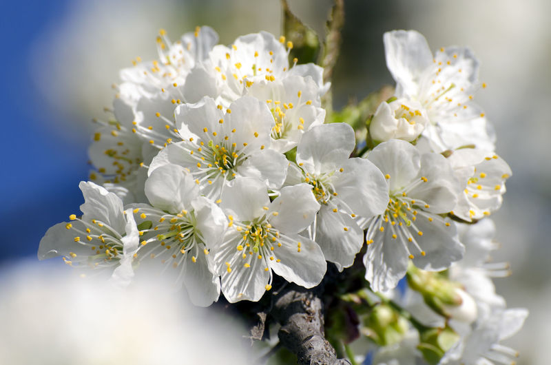 landscape Beauty In Nature Bouquet Cherry Blossom Close-up Day Flower Flower Arrangement Flower Head Flowering Plant Focus On Foreground Fragility Freshness Growth Inflorescence Nature No People Petal Plant Pollen Selective Focus Sunlight Vulnerability  White Color
