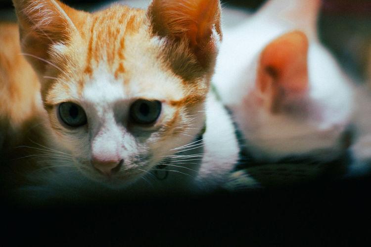 Mammal Cat Pets