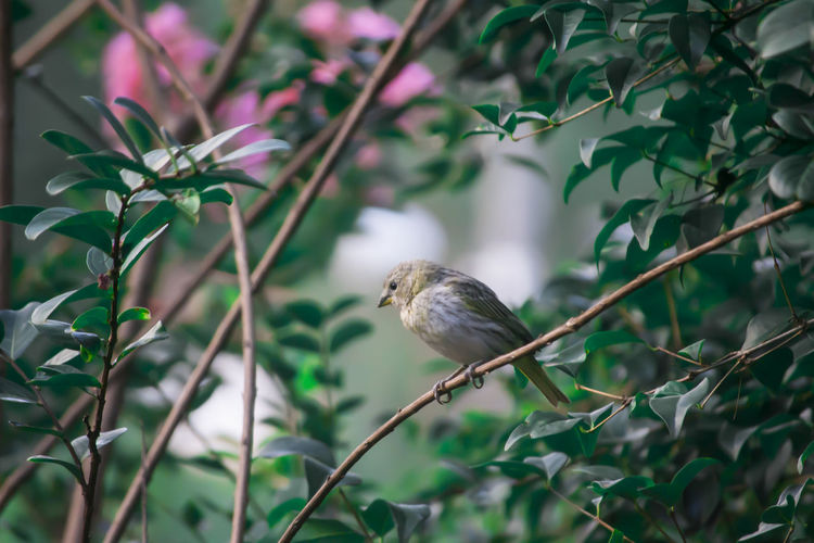 Bird - Canário Animal Animal Photography Animals In The Wild Beautiful Beautiful Nature Bird Bird Photography Birds Birds Of EyeEm  Canarinho Canario Day Nature No People Outdoors
