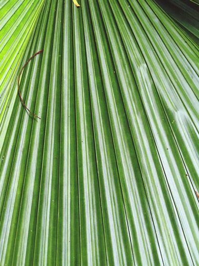 Green Leaf Palm