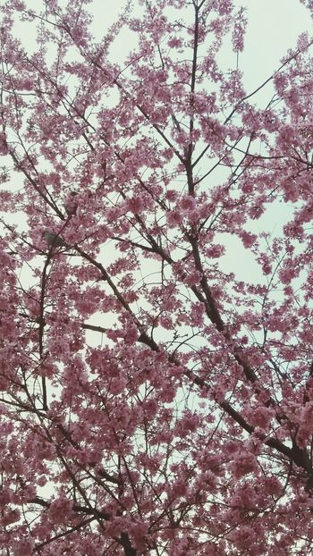 Birds_bees_flowers_n_trees Takealookatthis Tranquility Freshness Botany Flower Sky Growth Beauty In Nature Cherryblossomfestival Cherry Blossom Birds Eye View Birdseyeview Bird Low Angle View Branch Tree Cherry Blossom Tree Cherry Tree Flower Cherry Blossom Viewing Pink Color Cherries Pink Backgrounds Building Exterior