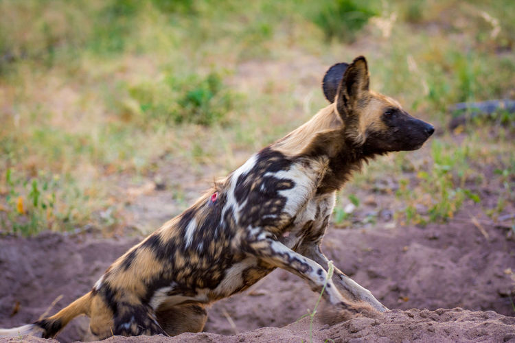 African Wild Dogs Standing On Field