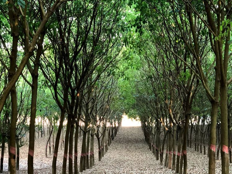 Green Growth Garden Rubber Plantation