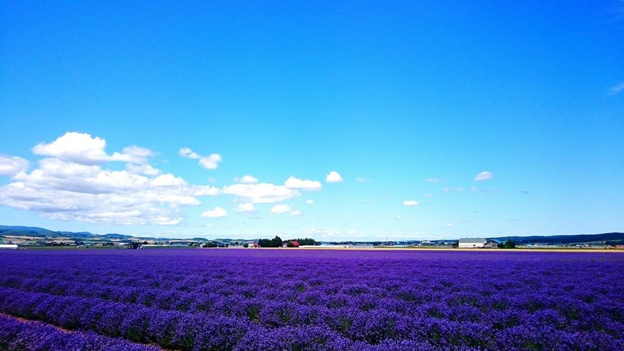 Japan Hokkaido Furano Lavender Naturephotography Nature_collection Naturelovers Nature Hallo World Blue Sky Flowers Summer Eyem Nature Lovers  Eyem Best Shots Eyem Nature Eyemphotography Eyem Gallery Eyem Best Shots Nature_collection Eyembestshots Eyeem Best Shot EyeEm Japan