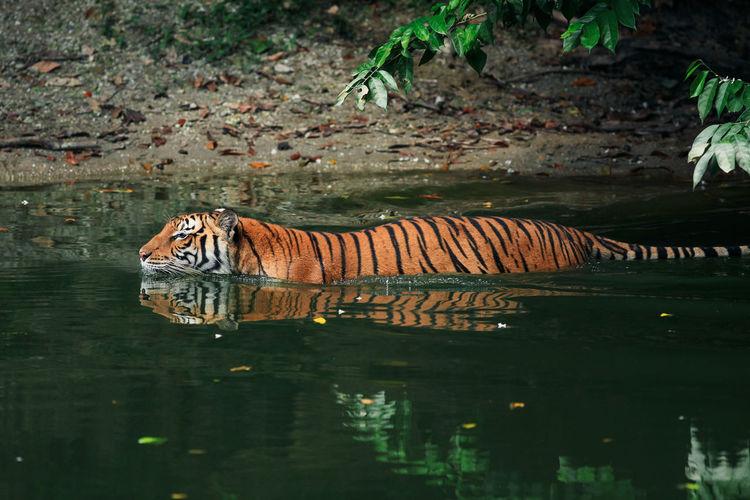 Tiger swimming in lake