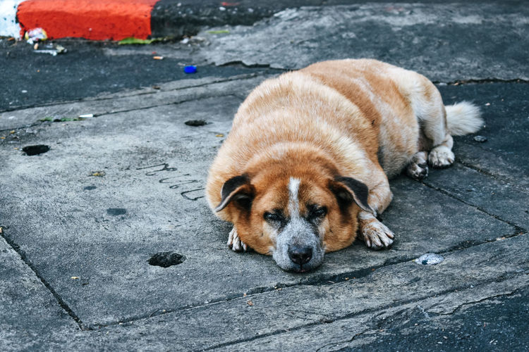High angle view of dog resting on street