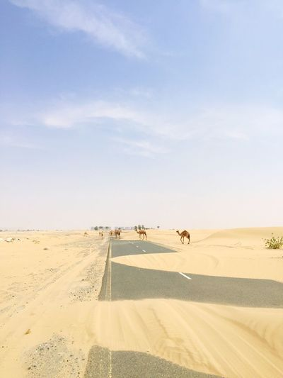 // in the desert you can't remember your name 🐪 Camel Sand Desert Nature Sky Sand Dune Landscape Road Outdoors Dubai The Great Outdoors - 2018 EyeEm Awards