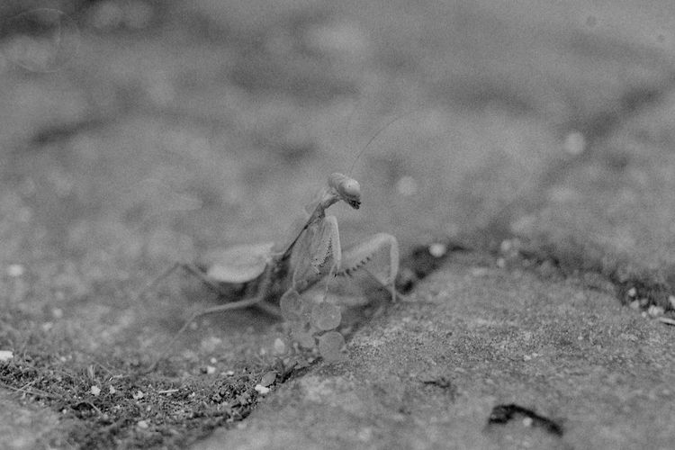 The last Mantis. 35mm Film Exakta 3.5-4.5/35-70mm Kodak T-max 400 Animal Themes Black And White Film Photography Mantis Outdated Film