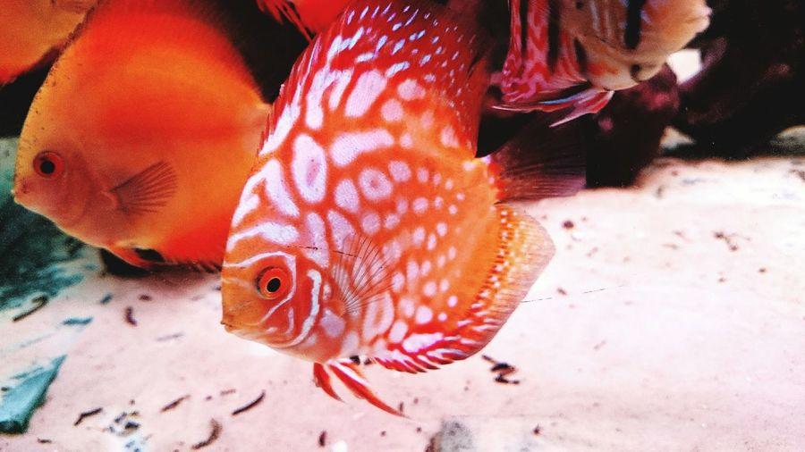 Red panda discus! Aquarium Life Discus Fish Discus Aquarium Fish