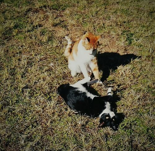 My cats enjoying a play date. Animal Photography Animals Farm Animals Farm Animal Close Up Animals Posing Cat Lovers Cats Of EyeEm Catlovers Cats Playing Catsofeyem Ginger Cat Love Black White Cat in Muldersdrift, South Africa