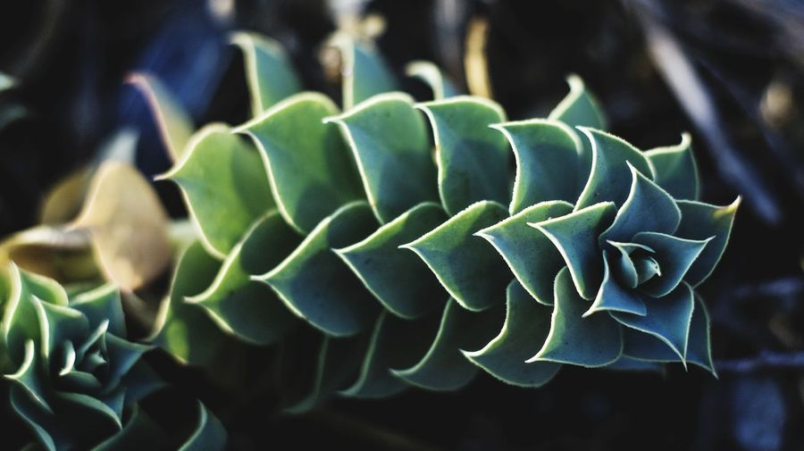 Succulents Growth Green Color Nature Plant Spiral No People Beauty In Nature Passion Flower Freshness Close-up