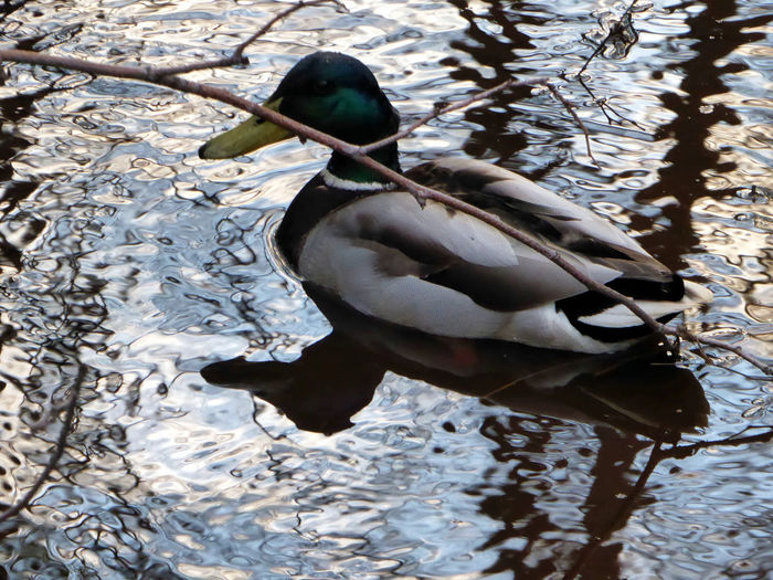 Ducks ❤ Animal Wildlife Animals In The Wild Near The Lake Tranquility Enjoyinglife  Simple Beauty Enjoying The View Celebrate The Little Things For My Friends 😍😘🎁 Brrrrrrrrr❄❄❄❄ Springtime Beauty In Nature Close-up Zoom ♡ Swimming Evening Lights Waterreflections