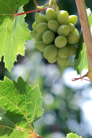 unripe grape Agriculture Close-up Day Freshness Fruit Grape Green Green Color Growth Healthy Eating Leaf Nature No People Outdoors Tree Unripe Grapes