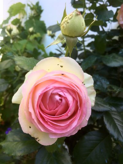 Mignonne allons voir si la rose ... Pierre de Ronsard