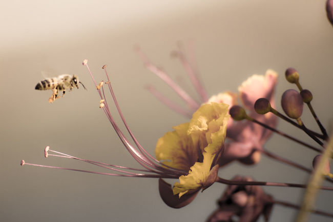 BeeLyfe. I never in my wildest dream thought I could catch a shot like this.. Beauty In Nature Bee Close-up Flight Flower Flower Head Flowering Plant Fragility Freshness Honey No People Plant Pollen Still Life Vulnerability