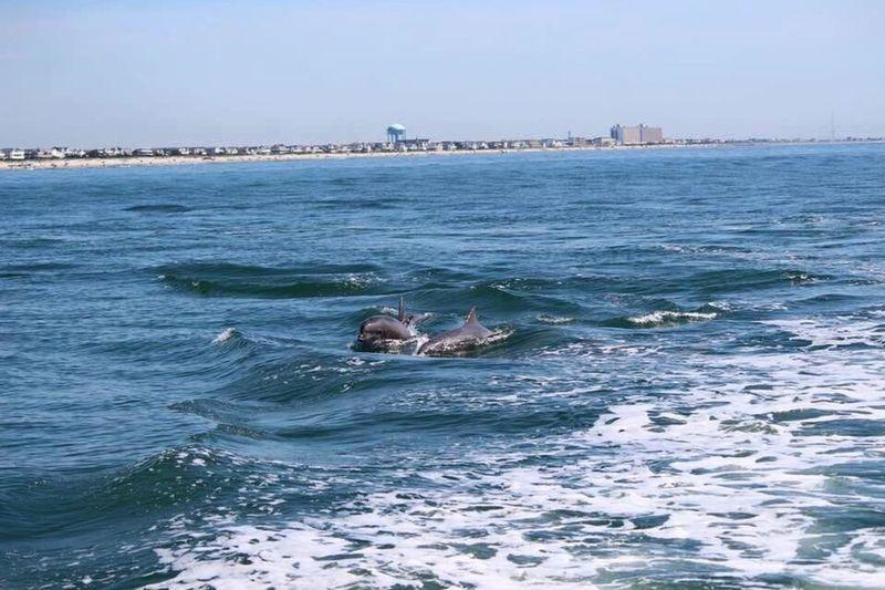 Ocean Marine Life Dolphins New Jersey OceanCity Marine