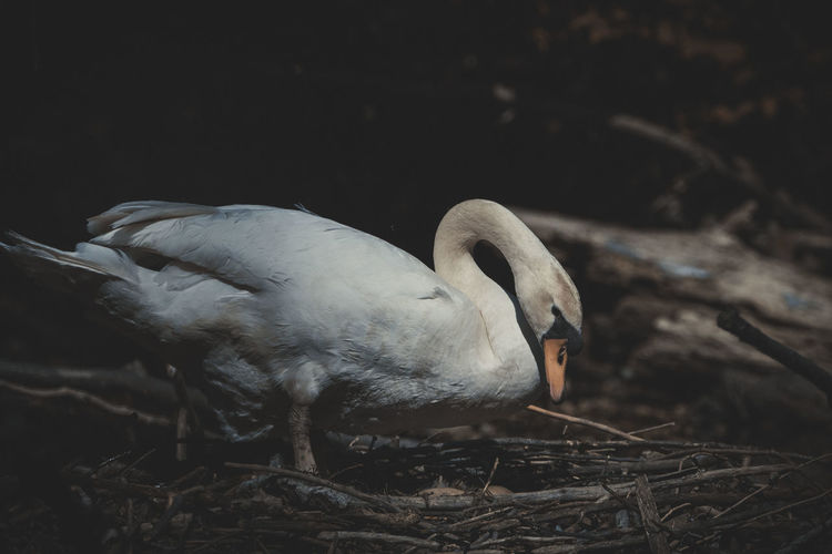 Close-up of swan perching on a field