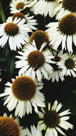 A Beautiful Close-up of White Flowers . Featuring Flower Petal Fragility Beauty In Nature Pollen Flower Head Freshness Growth Nature Coneflower Day Outdoors Background Nature Growth Beauty In Nature Leafy Green No People Plant Blooming